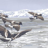 """""""Wilson's Storm Petrels"""" hand-printed acrylic, A3-size deckle-edged image on A2 paper £65"""